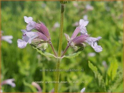 Nepeta grandiflora 'Dawn to Dusk' | Kattenkruid | Großblütige Katzenminze
