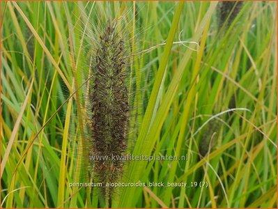 Pennisetum alopecuroides 'Black Beauty' | Lampenpoetsersgras, Borstelveergras | Lampenputzergras
