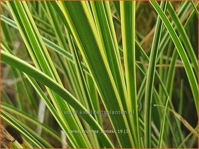 Carex brunnea 'Temaki'