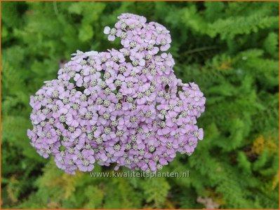 Achillea millefolium 'Ending Blue'
