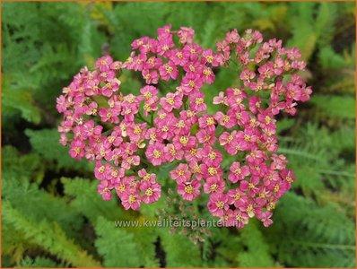 Achillea millefolium 'Sparkling Contrast'