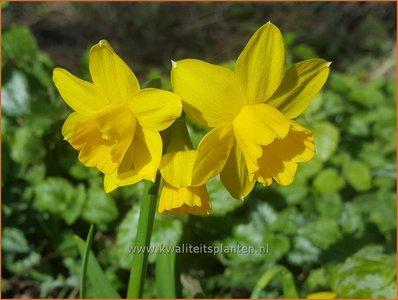 Narcissus 'Tête-à-Tête'