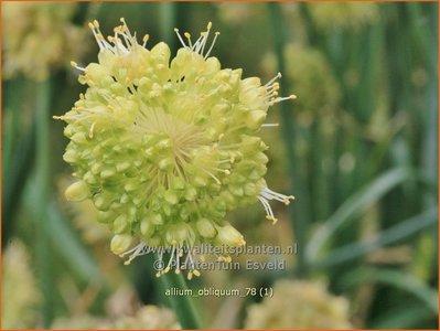Allium obliquum | Siberisch look, Sierui, Look | Schiefer-Lauch