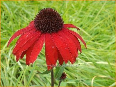 Echinacea purpurea 'Fountain Red'