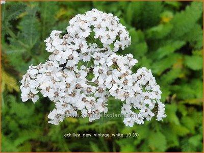 Achillea millefolium 'New Vintage White'   Duizendblad   Gewöhnliche Schafgarbe