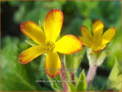 Primula 'Oakleaf Yellow Picotee' | Sleutelbloem | Primel