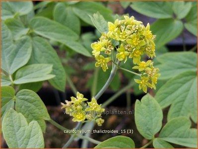 Caulophyllum thalictroides | Blauwe zilverkaars, Vrouwenwortel | Indianische Blaubeere
