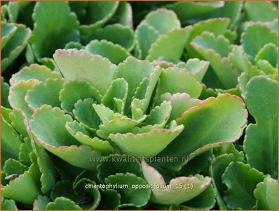 Chiastophyllum oppositifolium | Goudkorrel, Goudmossel