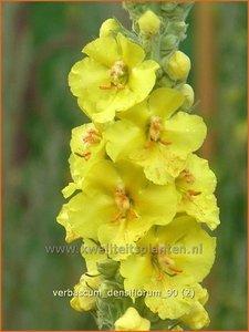 Verbascum densiflorum   Stalkaars, Toorts