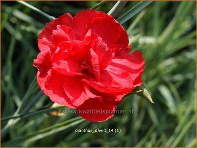 Dianthus 'David' | Grasanjer, Anjer
