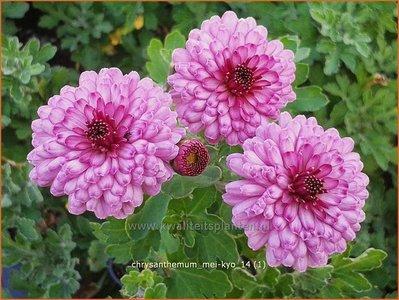 Tuinchrysant Chrysanthemum Mei Kyo Chrysant Kopen Bestellen