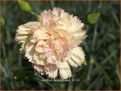 Dianthus 'Devon Cream' | Anjer
