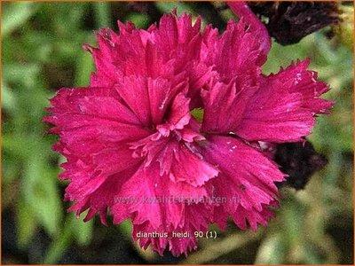 Dianthus 'Heidi'   Grasanjer, Anjer