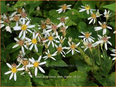 Aster divaricatus 'Beth Chatto' | Sneeuwsteraster, Aster