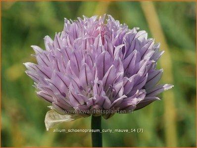 Allium schoenoprasum 'Curly Mauve' | Bieslook