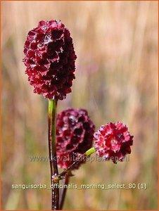 Sanguisorba officinalis 'Morning Select' | Pimpernel