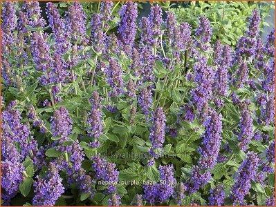Nepeta 'Purple Haze' | Kattekruid, Kattenkruid