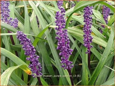 Leliegras Liriope Muscari Purple Passion Kopen Bestellen