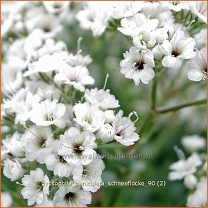 Gypsophila paniculata 'Schneeflocke' | Gipskruid, Pluimgipskruid