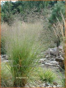 Eragrostis trichodes | Liefdesgras