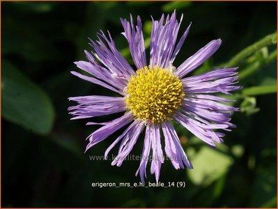Erigeron 'Mrs E.H. Beale' | Fijnstraal