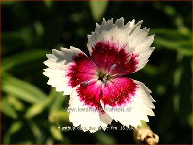 Dianthus deltoides 'Arctic Fire' | Steenanjer, Anjer | Heidenelke