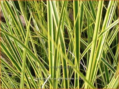 Carex brunnea 'Aureomarginata'   Zegge
