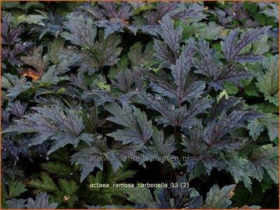 Actaea ramosa 'Carbonella' | Zilverkaars, Oktoberkaars, Christoffelkruid