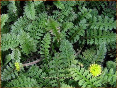 Leptinella squalida | Koperknoopje