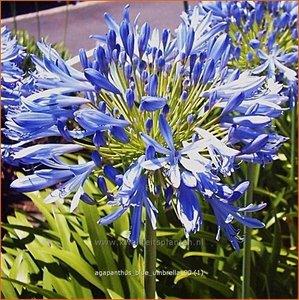 Agapanthus 'Blue Umbrella' | Kaapse lelie, Afrikaanse lelie, Liefdesbloem