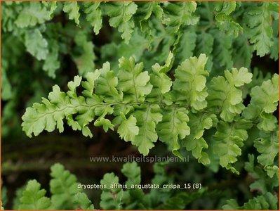 Dryopteris affinis 'Angustata Crispa' | Geschubde mannetjesvaren, Mannetjesvaren