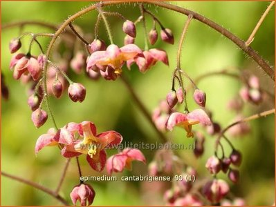 Epimedium cantabrigiense   Elfenbloem
