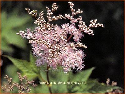 Filipendula purpurea 'Elegans'   Moerasspirea