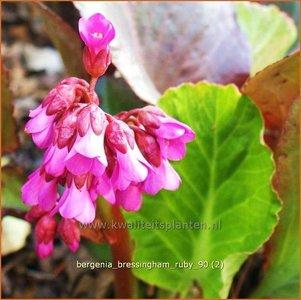 Bergenia 'Bressingham Ruby' | Schoenlappersplant, Olifantsoren