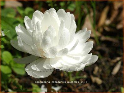 Sanguinaria canadensis 'Multiplex' | Bloedwortel, Canadees bloedkruid