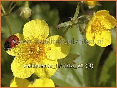 Waldsteinia ternata | Gele aardbei, Goudaardbei