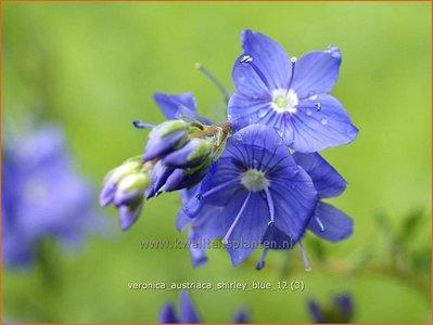 Veronica austriaca 'Shirley Blue' | Brede ereprijs, Ereprijs