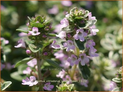 Thymus citriodorus 'Silver Queen' | Citroentijm, Tijm