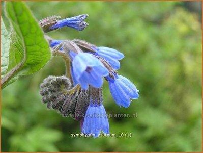 Symphytum azureum | Smeerwortel