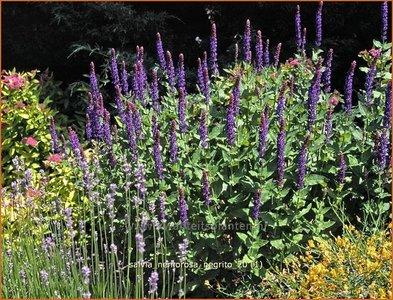 Salvia nemorosa 'Negrito' | Salie, Salvia