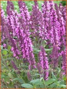 Salvia nemorosa 'New Dimension Rose' | Salie, Salvia