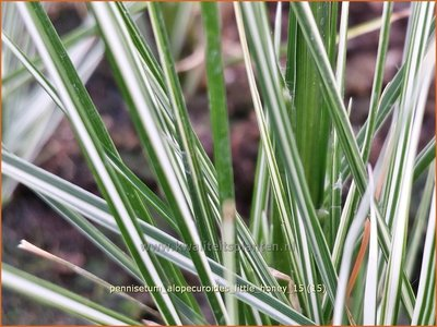 Pennisetum alopecuroides 'Little Honey' | Lampenpoetsersgras