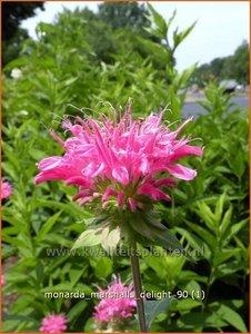 Monarda 'Marshall's Delight' | Bergamotplant
