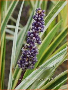 Liriope muscari 'Variegata' | Leliegras