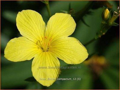 Linum flavum 'Compactum' | Geel vlas