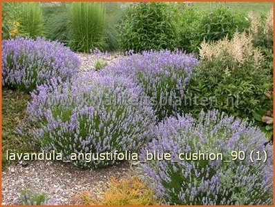 gewone lavendel lavandula angustifolia 39 blue cushion 39 echte lavendel lavendel kopen. Black Bedroom Furniture Sets. Home Design Ideas
