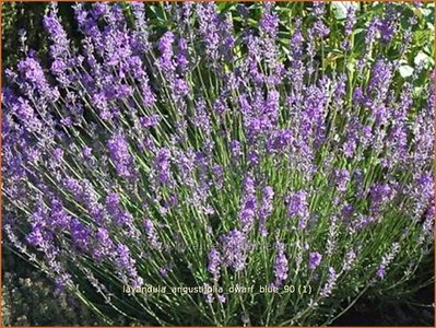 gewone lavendel lavandula angustifolia 39 dwarf blue. Black Bedroom Furniture Sets. Home Design Ideas