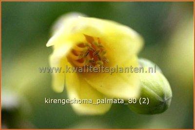 Kirengeshoma palmata | Japanse wasbloem