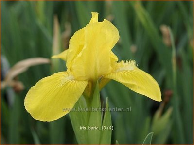 Iris 'Baria' | Iris, Lis