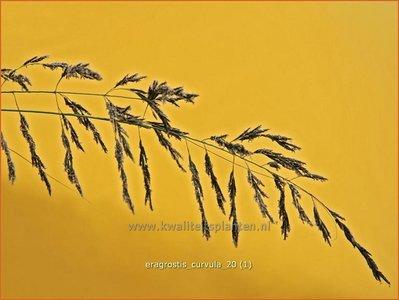 Eragrostis curvula   Liefdesgras